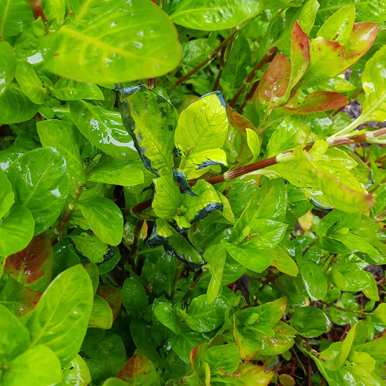 Japanese indigo plant.jpg