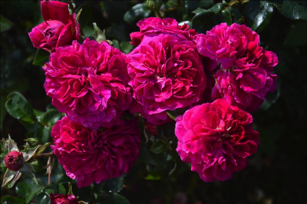 KimWall Rose