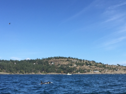 A Southern Resident Orca I spotted in the Haro Straight while on a whale watch from Orcas Island with  Outer Island Excursions .