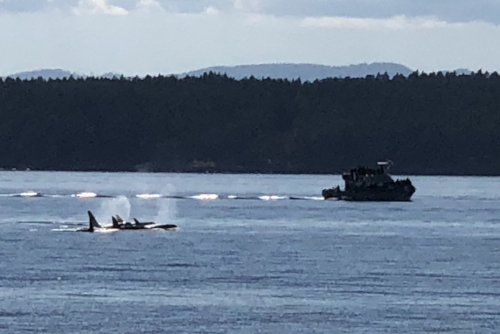 Male resident orca J-26 (Mike) with some ladies