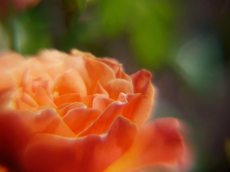 Rose Garden: Orange