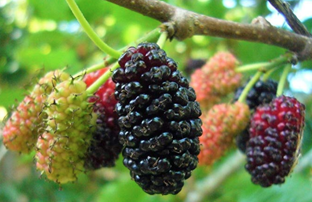 Baby Mulberry Trees