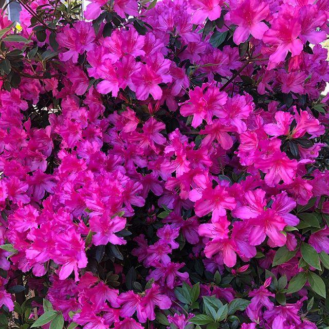 It's Azalea Fest weekend and they are in full bloom! #nofilter #azaleafestival #fullbloom #formosaazalea #downtownwilmington