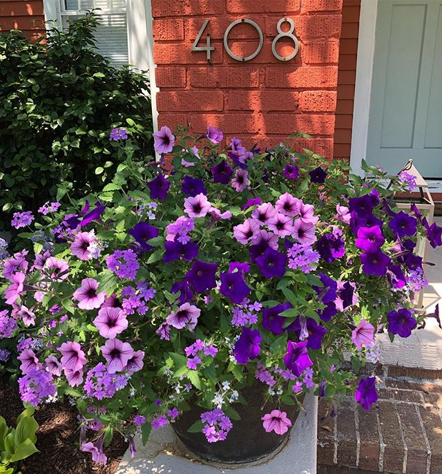 Love sticking with a narrow color palette in a trailing planter. #colorpop  #containergardening #provenwinners  #petunias #verbena