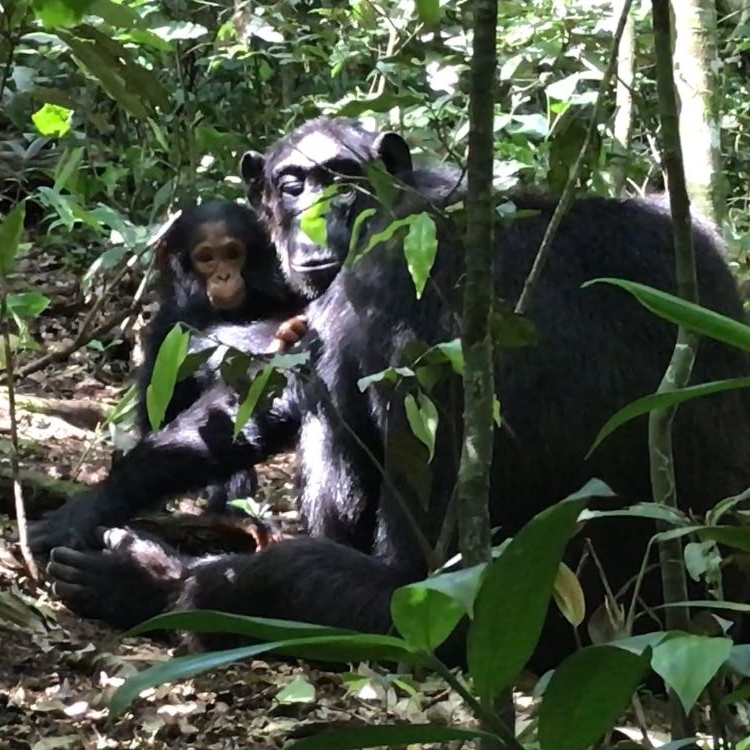 Chimp Trekking in Uganda