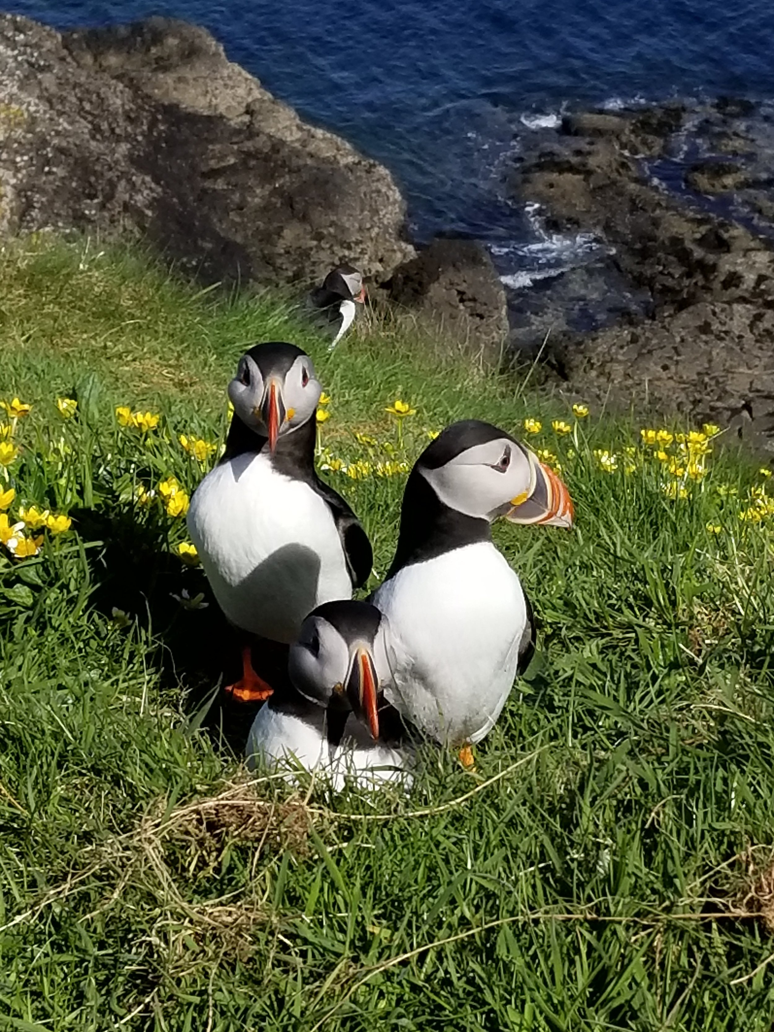 Pufflins on the Isle of Staffa