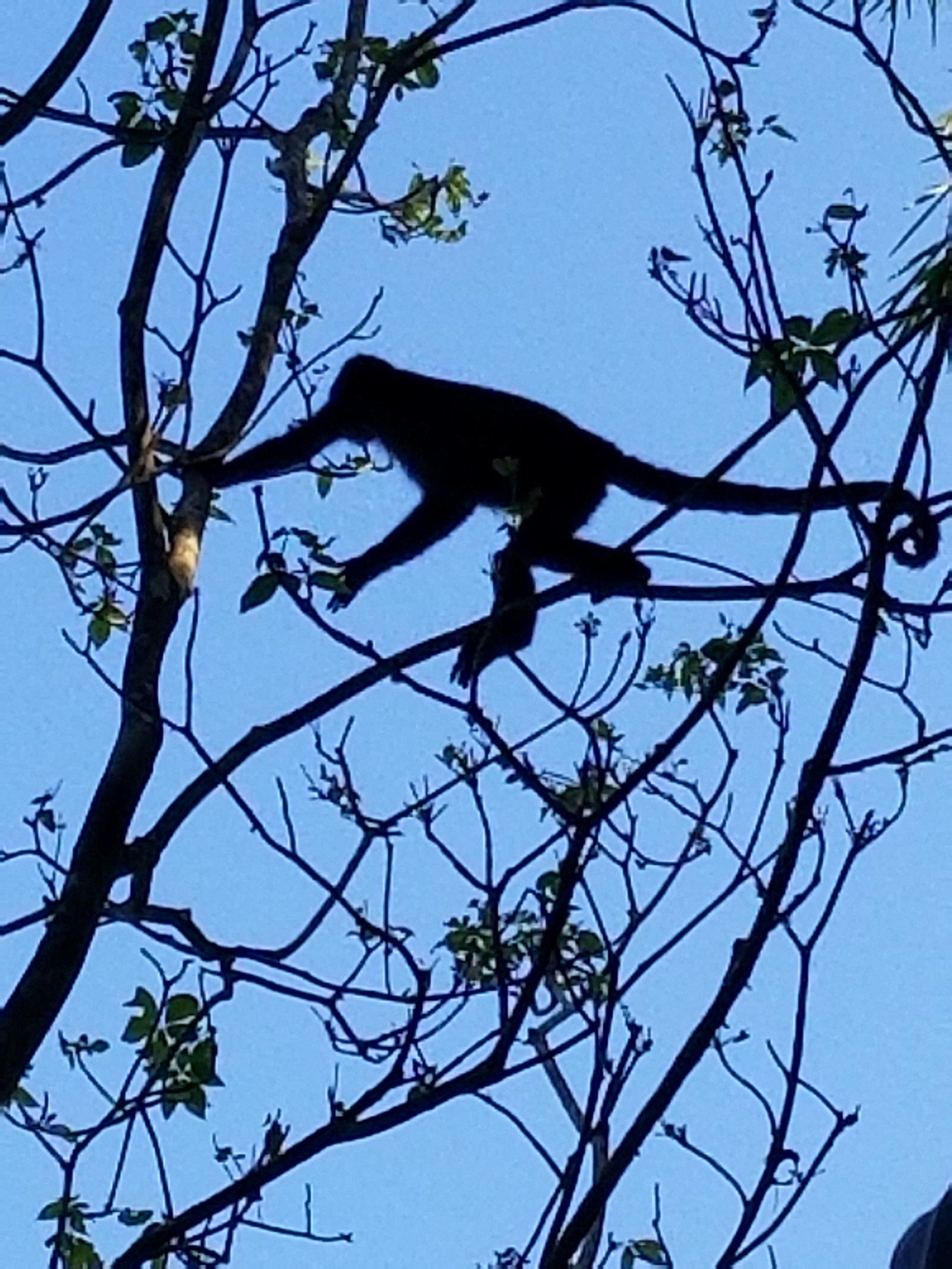 One of the howler monkeys