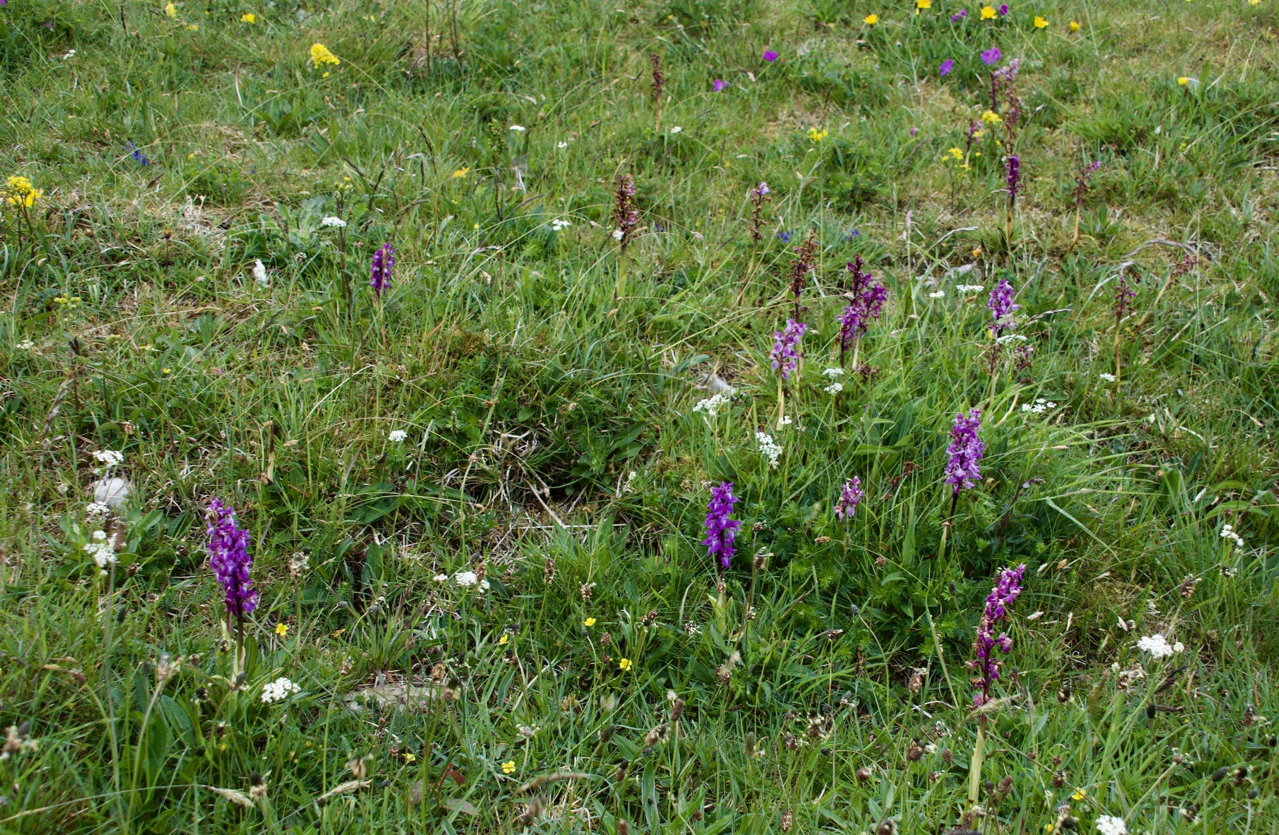 Wild Orchids in the Burren  Photo by Susan Izard