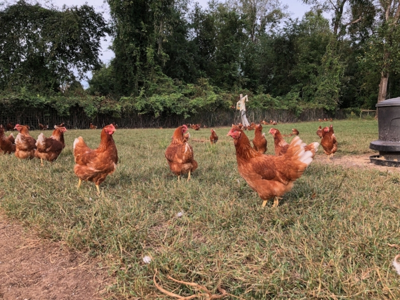 Free Range Eggs - We raise Red Sex Link laying hens and offer free range eggs to both wholesale buyers and retail at local farmer's markets. We currently do not offer our eggs for sale through our website; however, if you are interested in purchasing our free range eggs and live in the area, pick-up is available at our farm. Please contact us today!