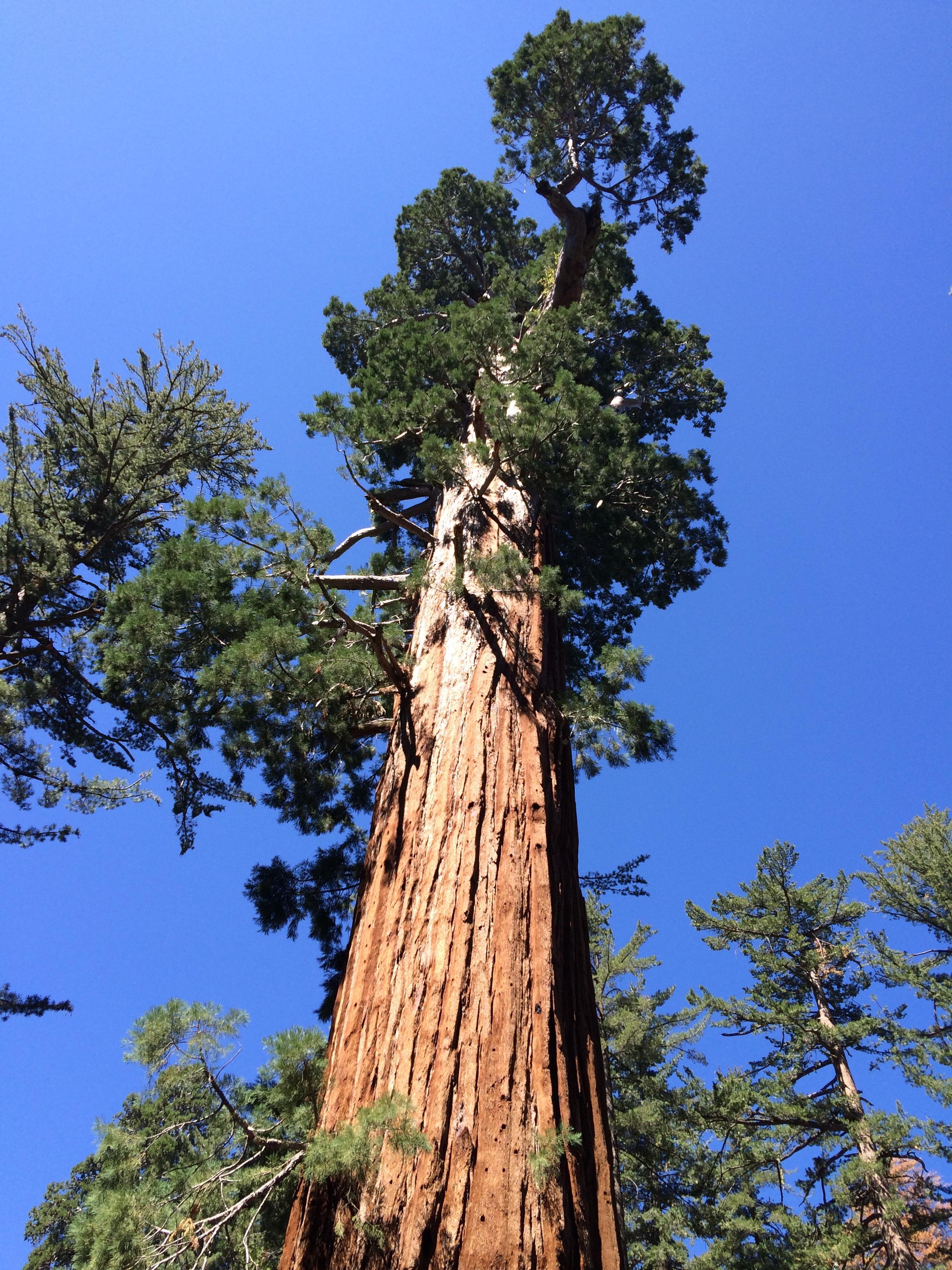 Giant Sequoia.jpg