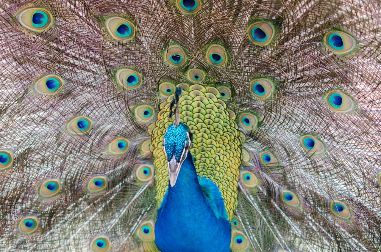 Peacock strutting his stuff.
