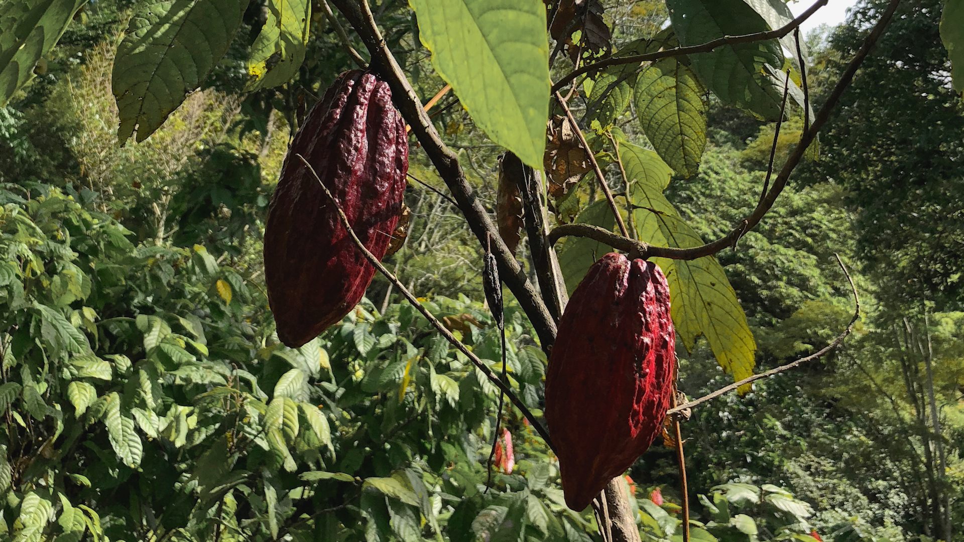 Unrippened fruit of the cacao tree.