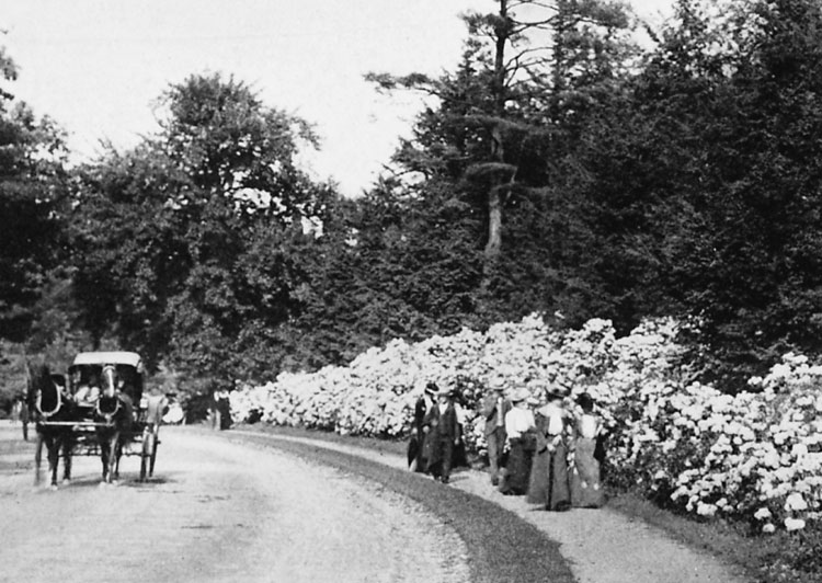 Visitors to the Arnold Arboretum at the turn of the century pass by a display of mountain laurel.