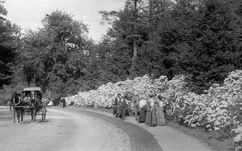Visitors to the Arnold Arboretum walk past an expanse of Mountain Laure in bloom on Hemlock Hill. c. 1900. Photograph courtesy of Francis Loeb Library, Graduate School of Design, Harvard University.