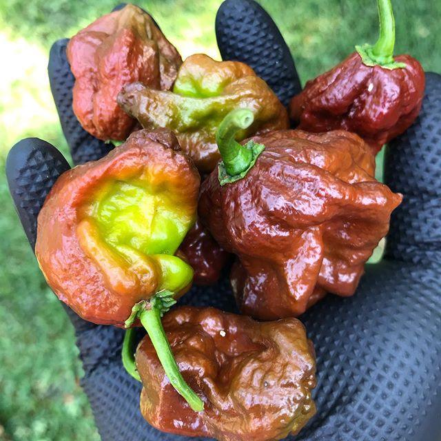 You know how Mother Nature tells you to Stay Away from something?  Kinda like this.  #carolinareaper . . . #eatlocal #lipsburning #panterafarm