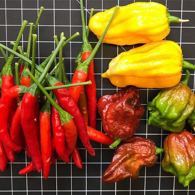 SUHP.  It's Super Ultra Hot Pepper day!  Featured torture includes Thai Chilis (100,000 SHU), Orange Scorpion (1,000,000 SHU) and Carolina Reaper (2,000,000 SHU) . . . #suhp #sufferlocal #eatlocal
