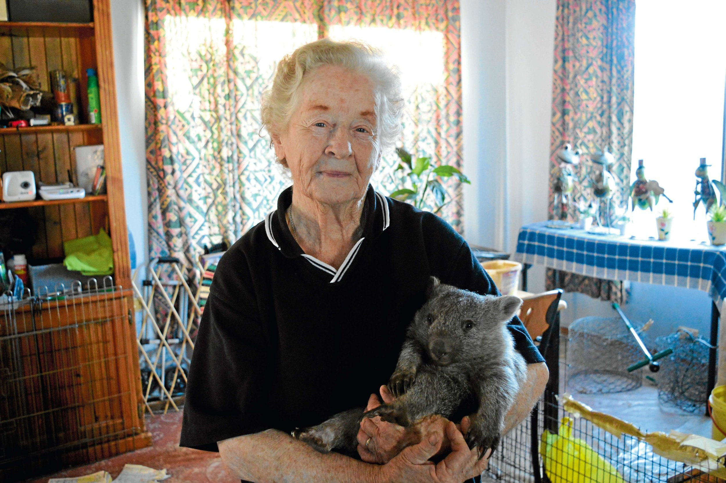 • Much-loved Bridport wildlife carer Norma Baker with one of the young wombats she's caring for, Silver Streak.