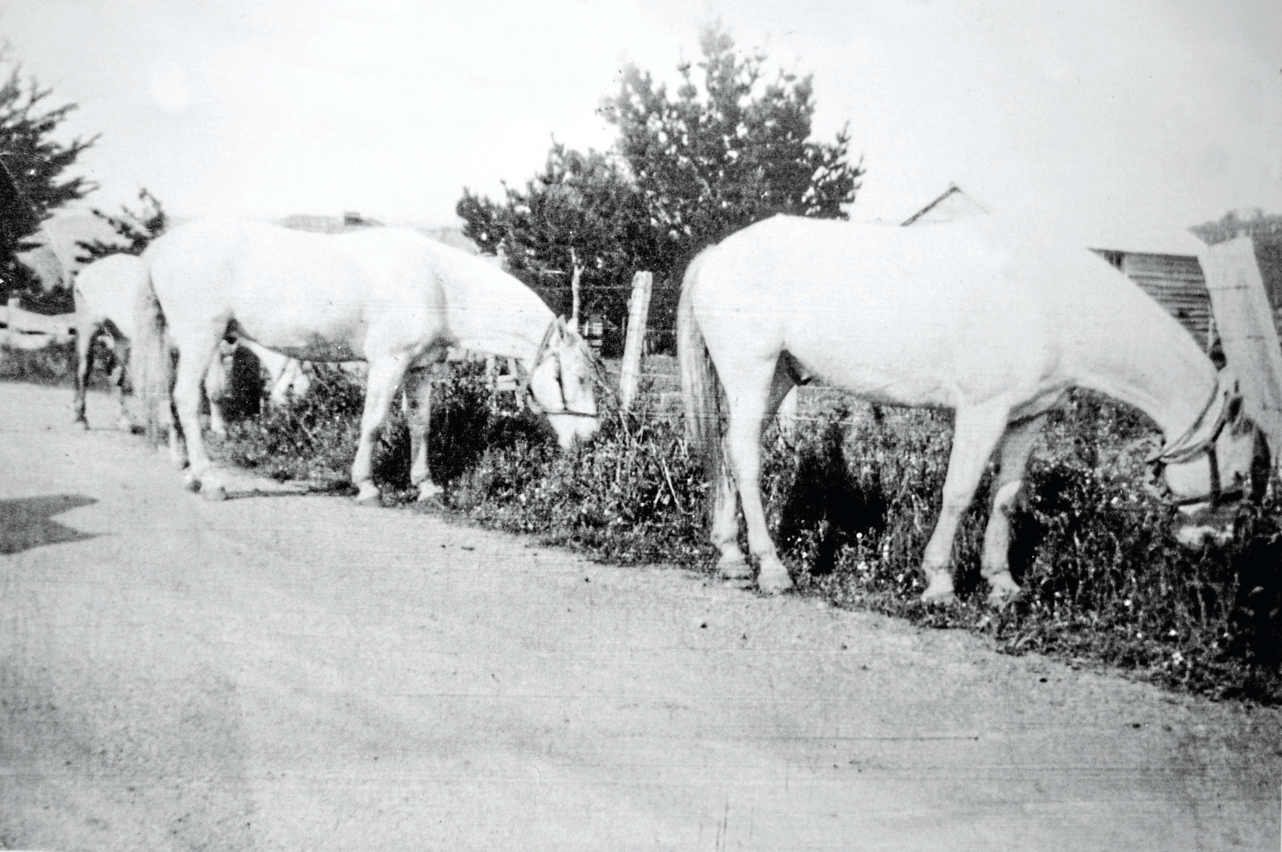• The circus ponies Margaret photographed eating grass between Weldborough and Pyengana in 1939. Supplied.