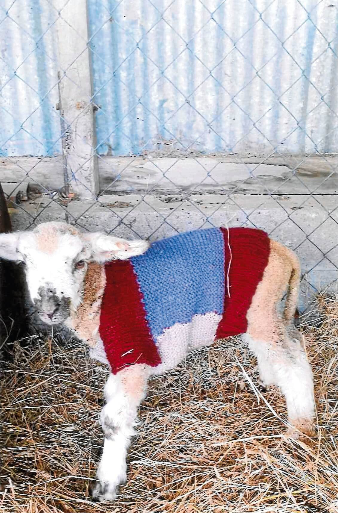 • One of the woolly beneficiaries of this charitable program.