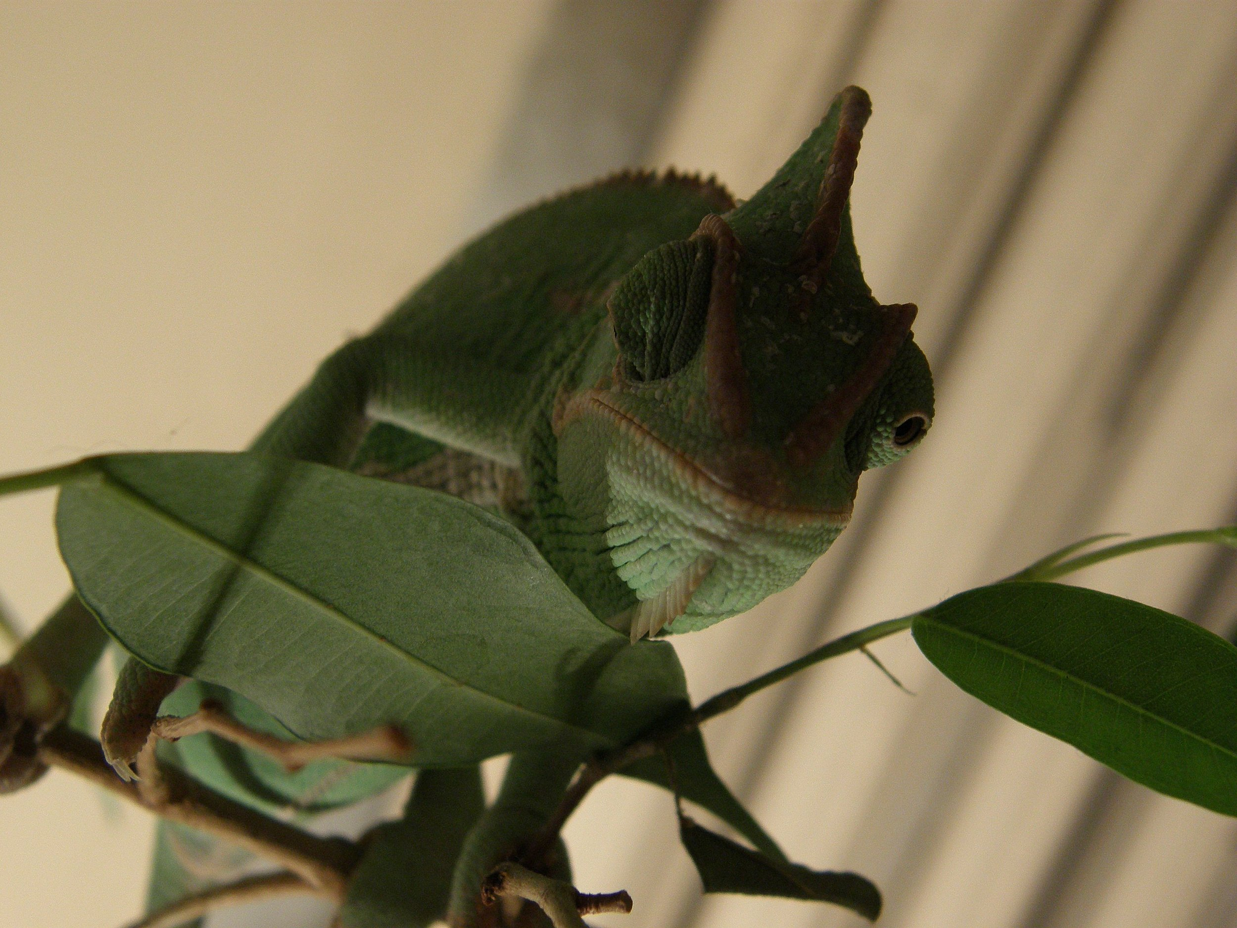 coquettish-chameleon-1359593.jpg