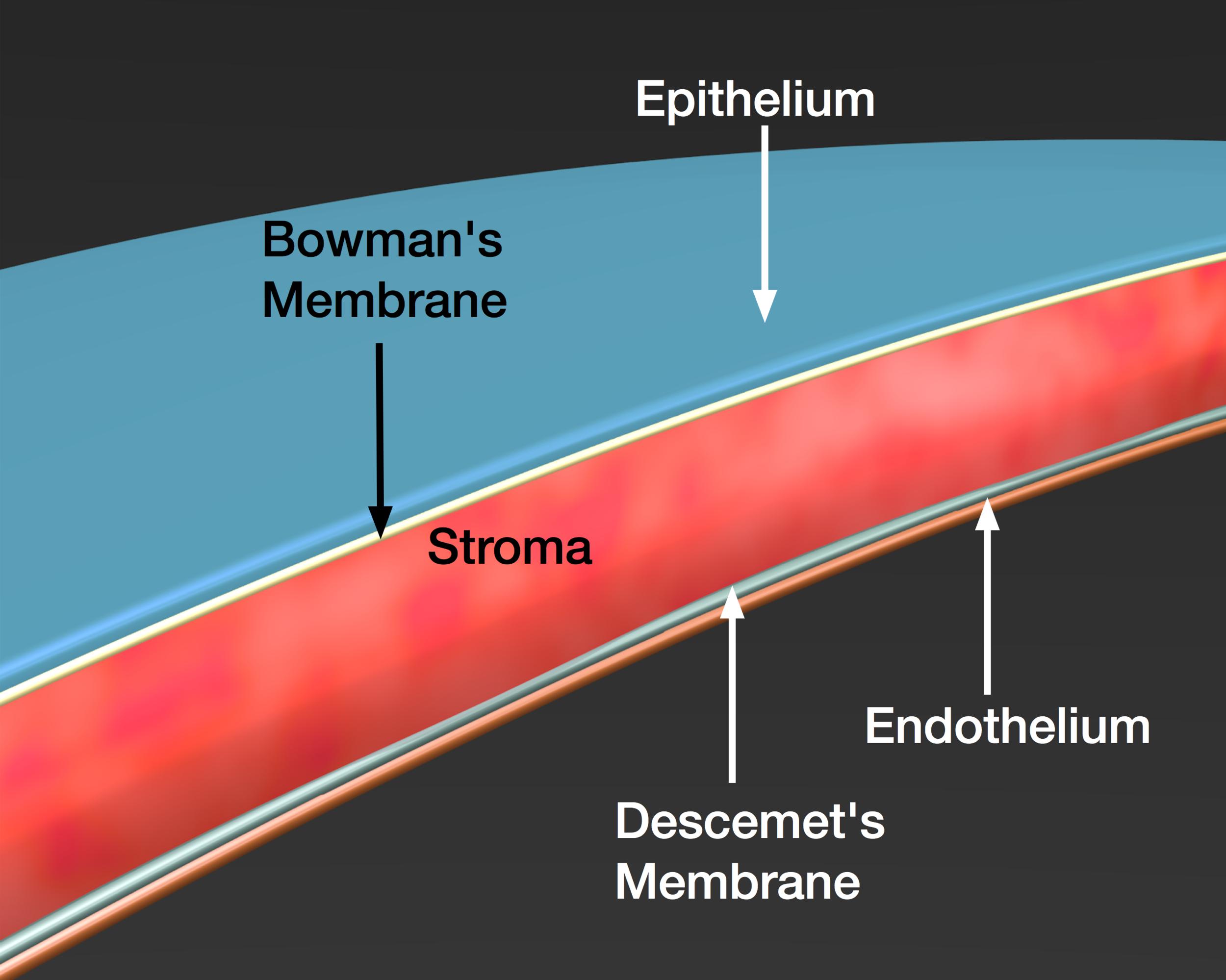 Schematic view of a cut through a human cornea.