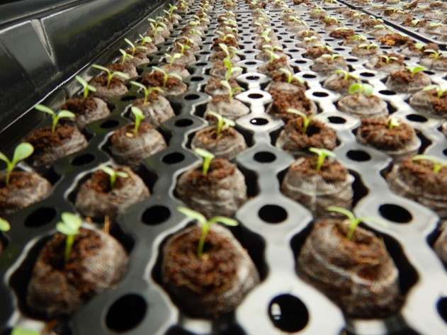 germ tray sprouts.jpg