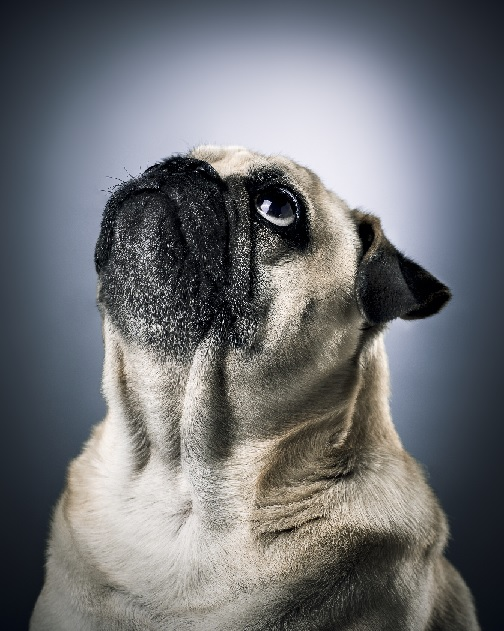 Monster the Pug! Photo by Luke Copping