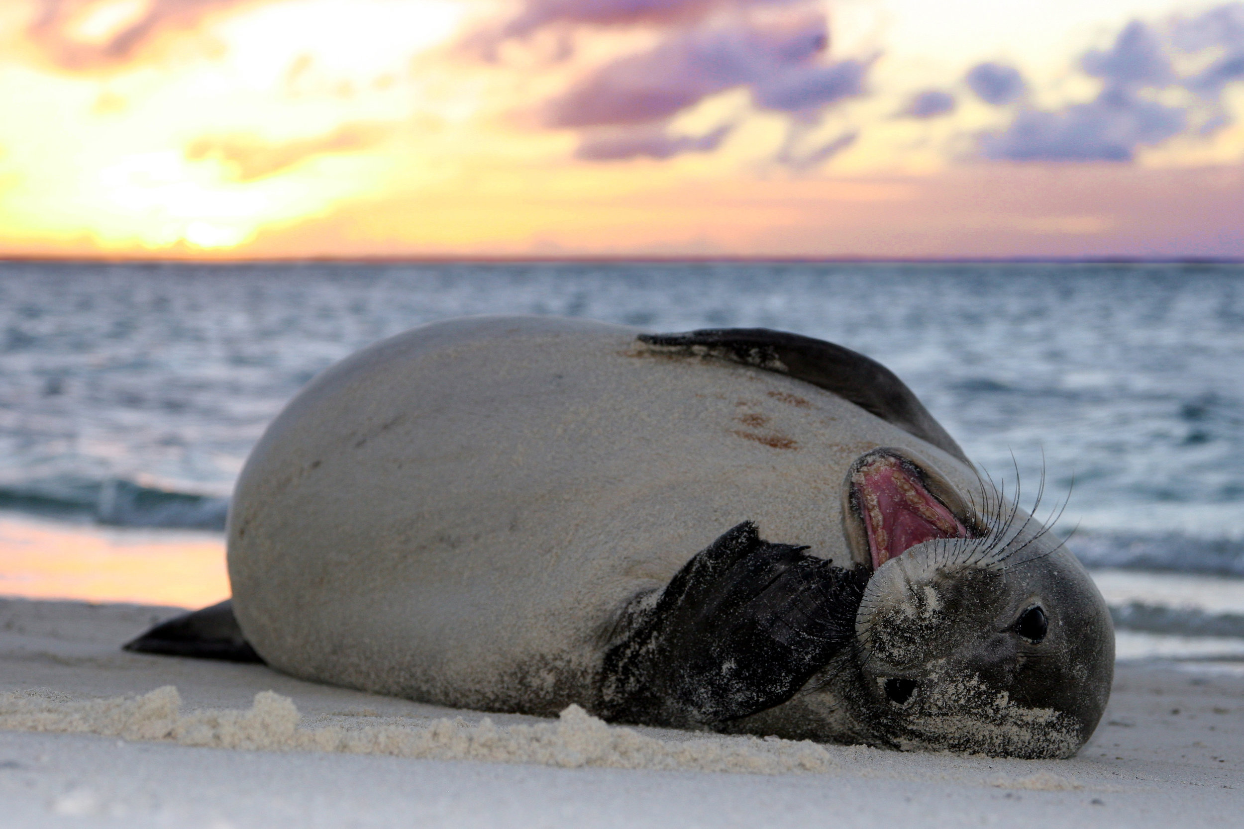 hawaiianmonkseal_sunset_marksullivan.jpg