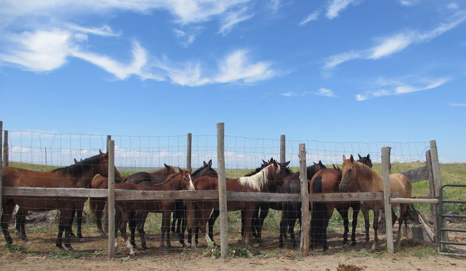 Horses waiting to receive veterinary & podiatry care at the Pine Ridge Indian Reservation.