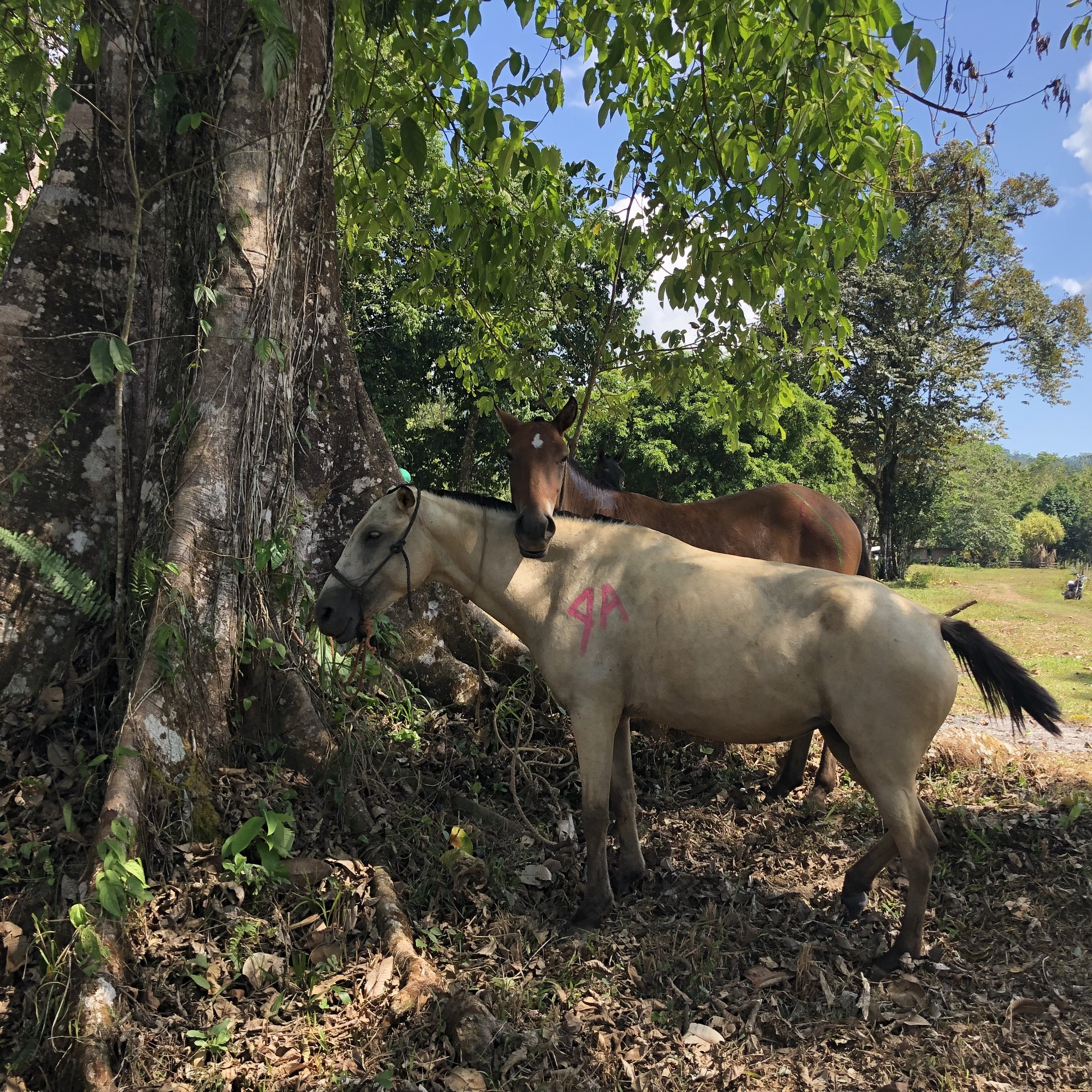 Though these horses rarely receive veterinary care, the majority of our patients were in excellent body condition. Owners typically rent lush pastures for their horses to graze.