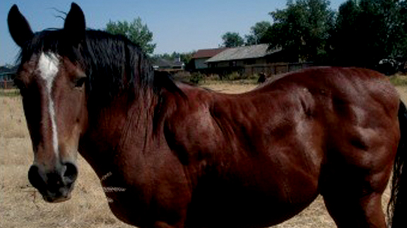 Horse with abnormal fat deposits across neck, shoulders, and rump.