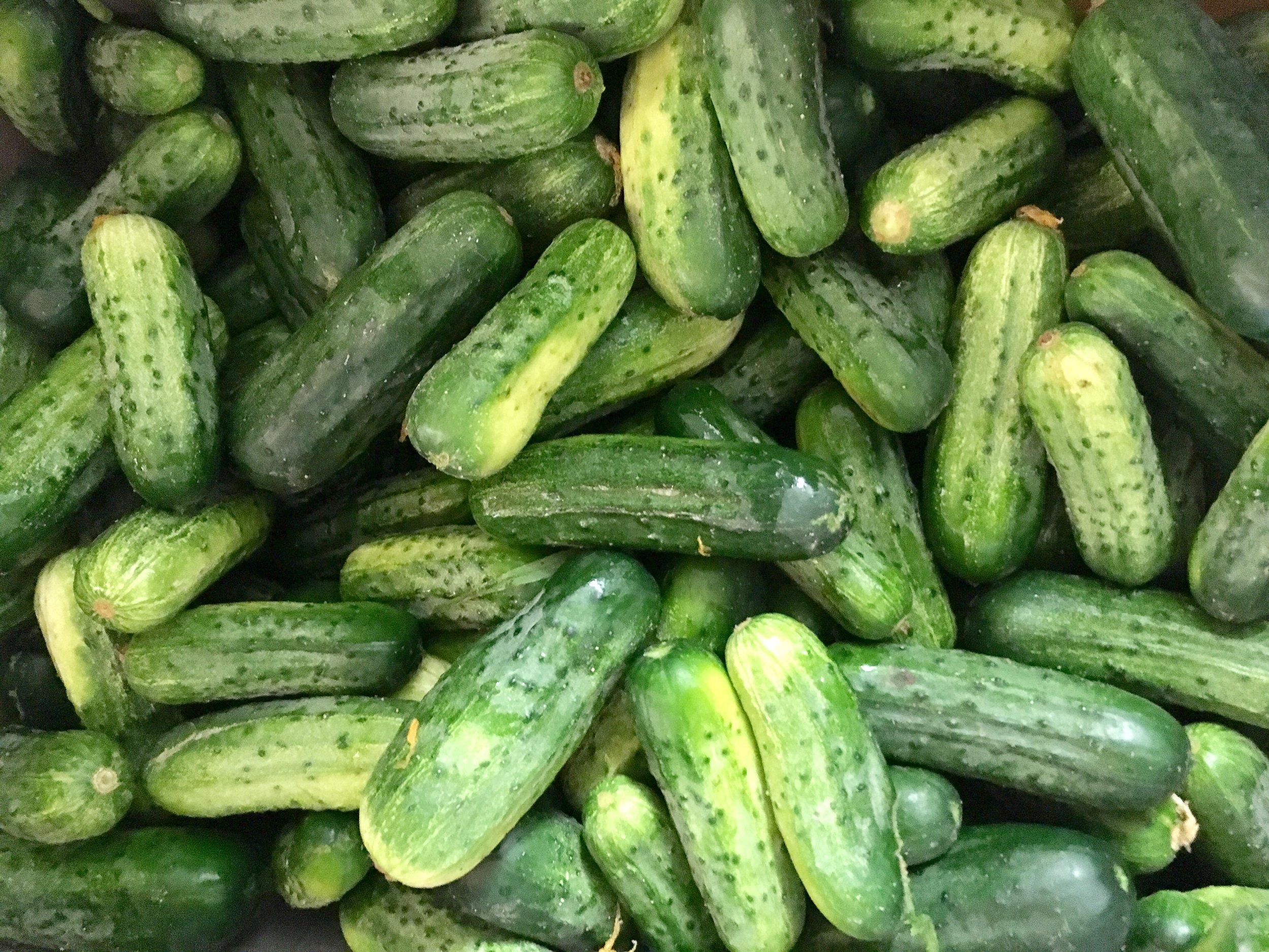 pickling cucumber.jpg