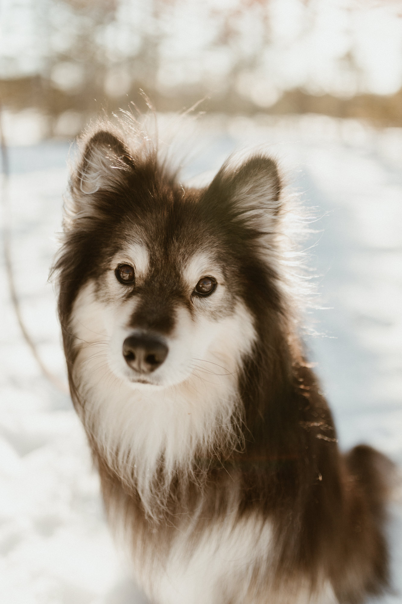 A Finnish Lapphund Dog sitting in the snow.