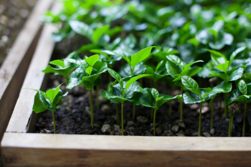 Nature & Nurture - Quality coffee is greatly dependent on well-drained and fertile soils, healthy coffee seedlings and trees, and ideal climates. We train our coffee farmers on quality assurance techniques and provide them with agronomic support.Ultimately, producing the optimum crop recognizably increases the farmer's income.
