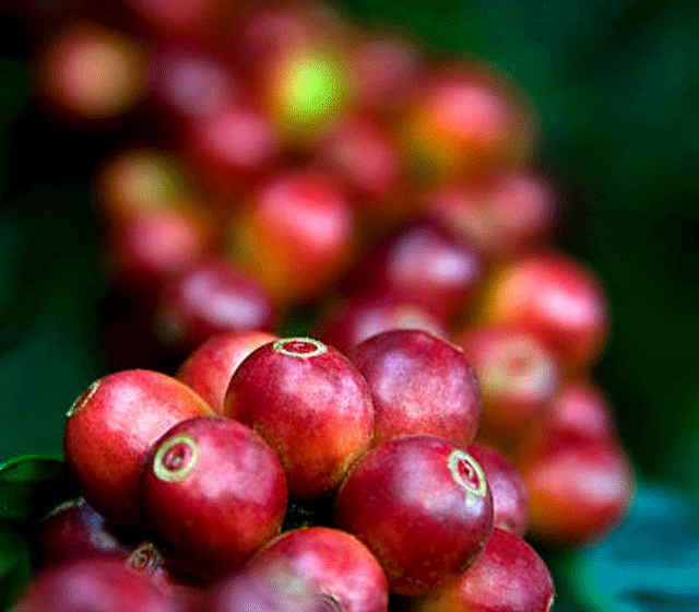 KENYA AA   | MERU GICHUGENE      Bright acidity | Smooth honey    BAGS: 43 | POS: ANNEX.CA