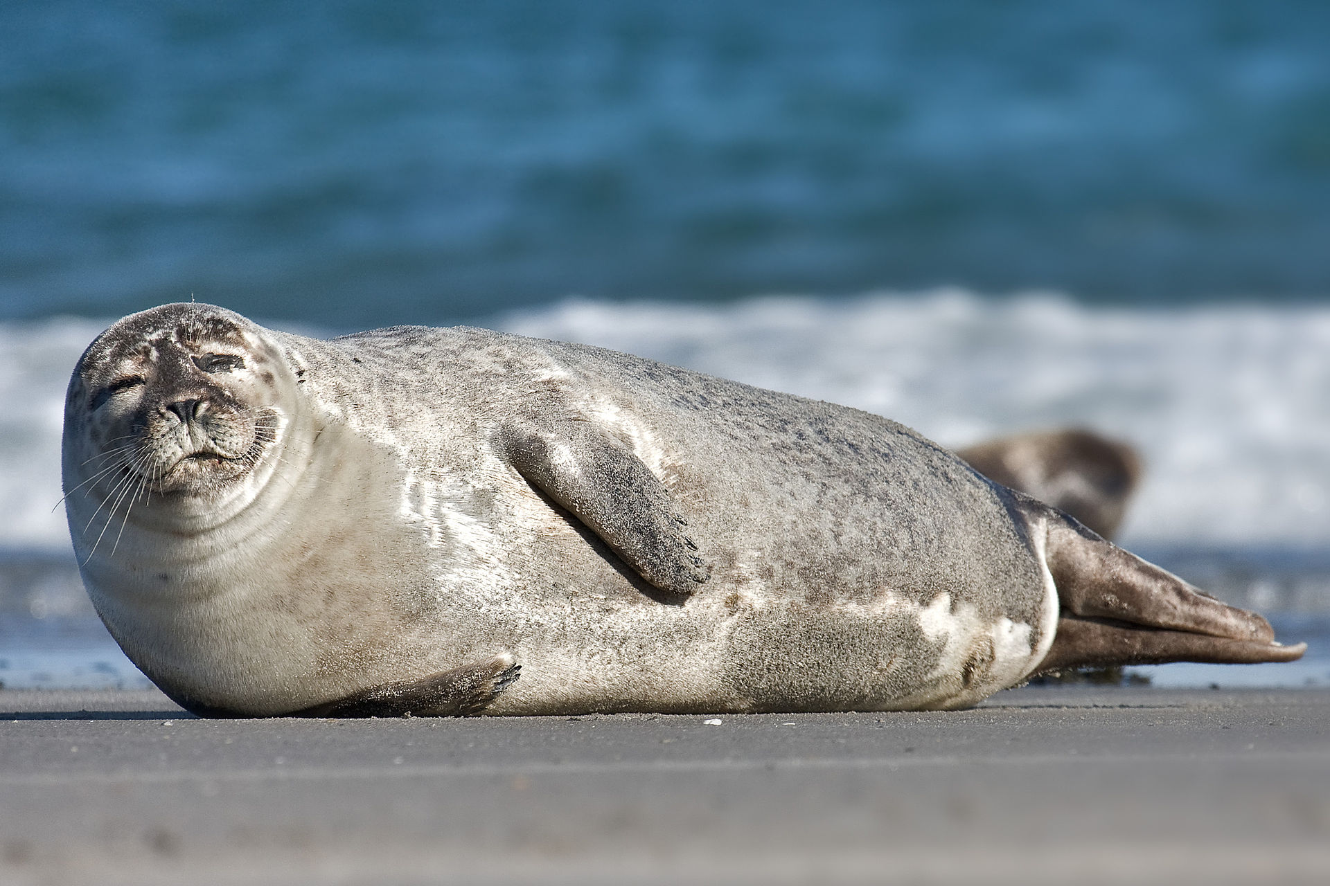 """Oink, oink indeed,"" said the Harbor Seal."