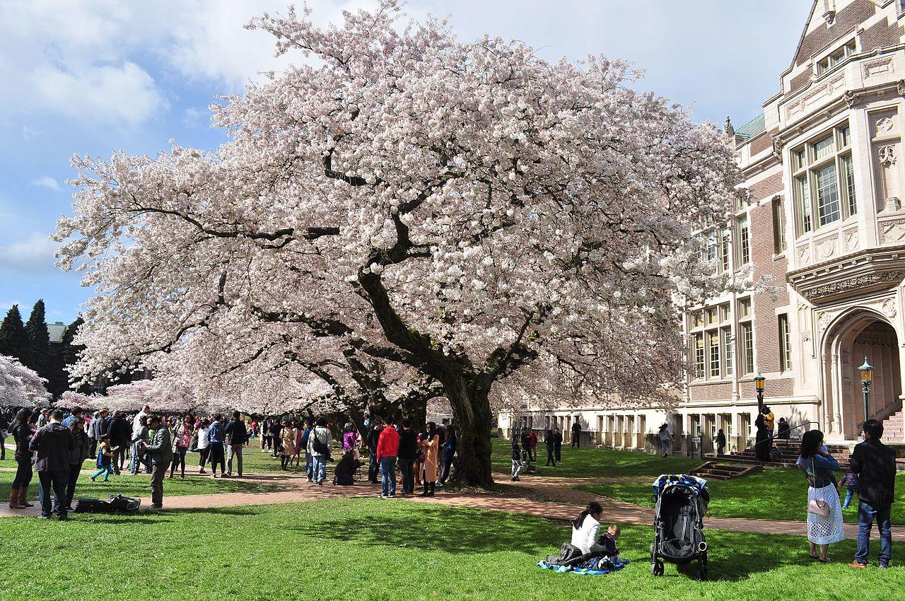 University_of_Washington_Quad_cherry_blossoms_2017_-_09.jpg