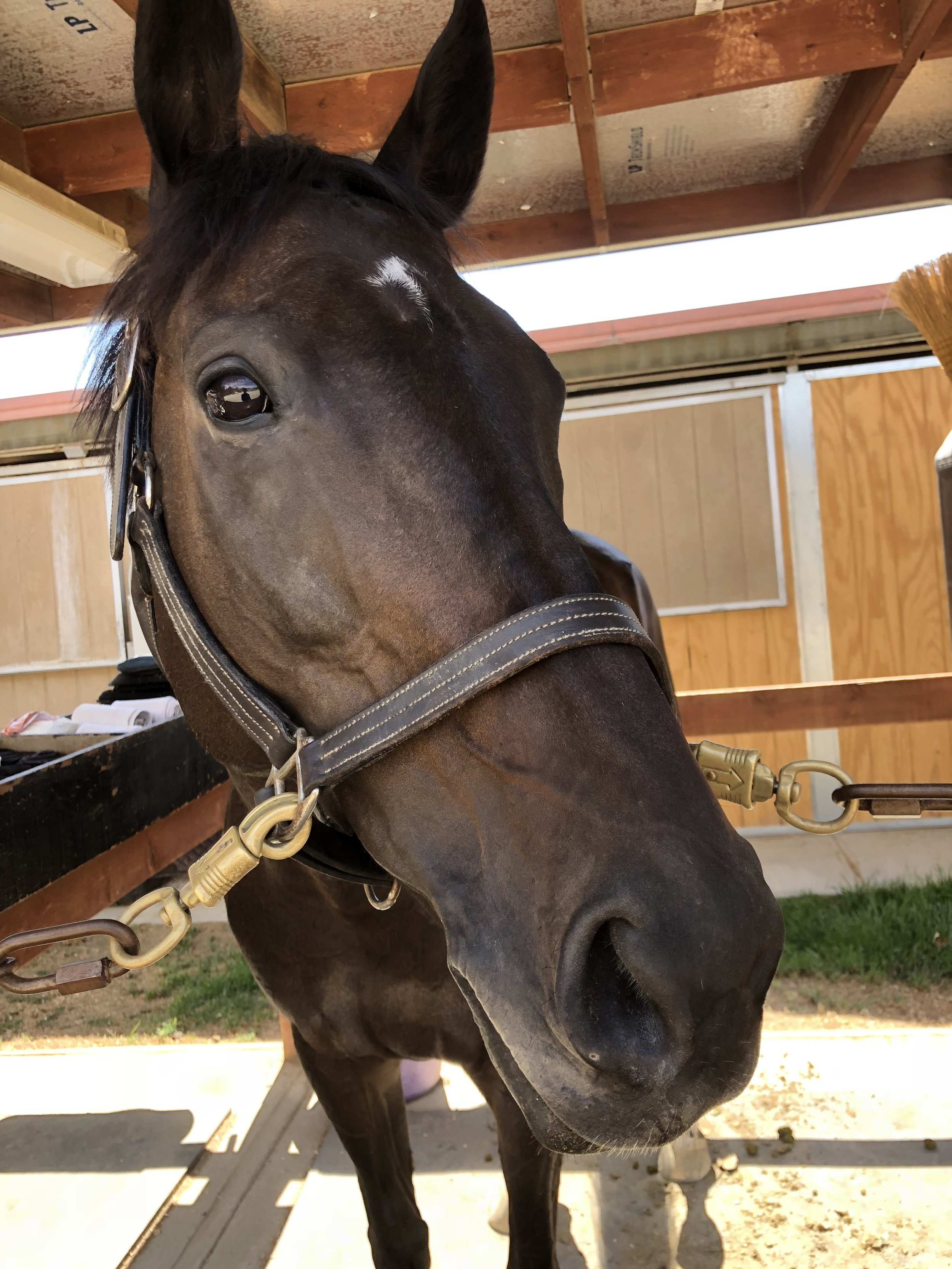 Indie - We would like to welcome Indie and Chelsea to our barn! This very special little thoroughbred mare is so much fun! She is learning so quickly. She truely wants to please and do things right! Thank you Chelsea