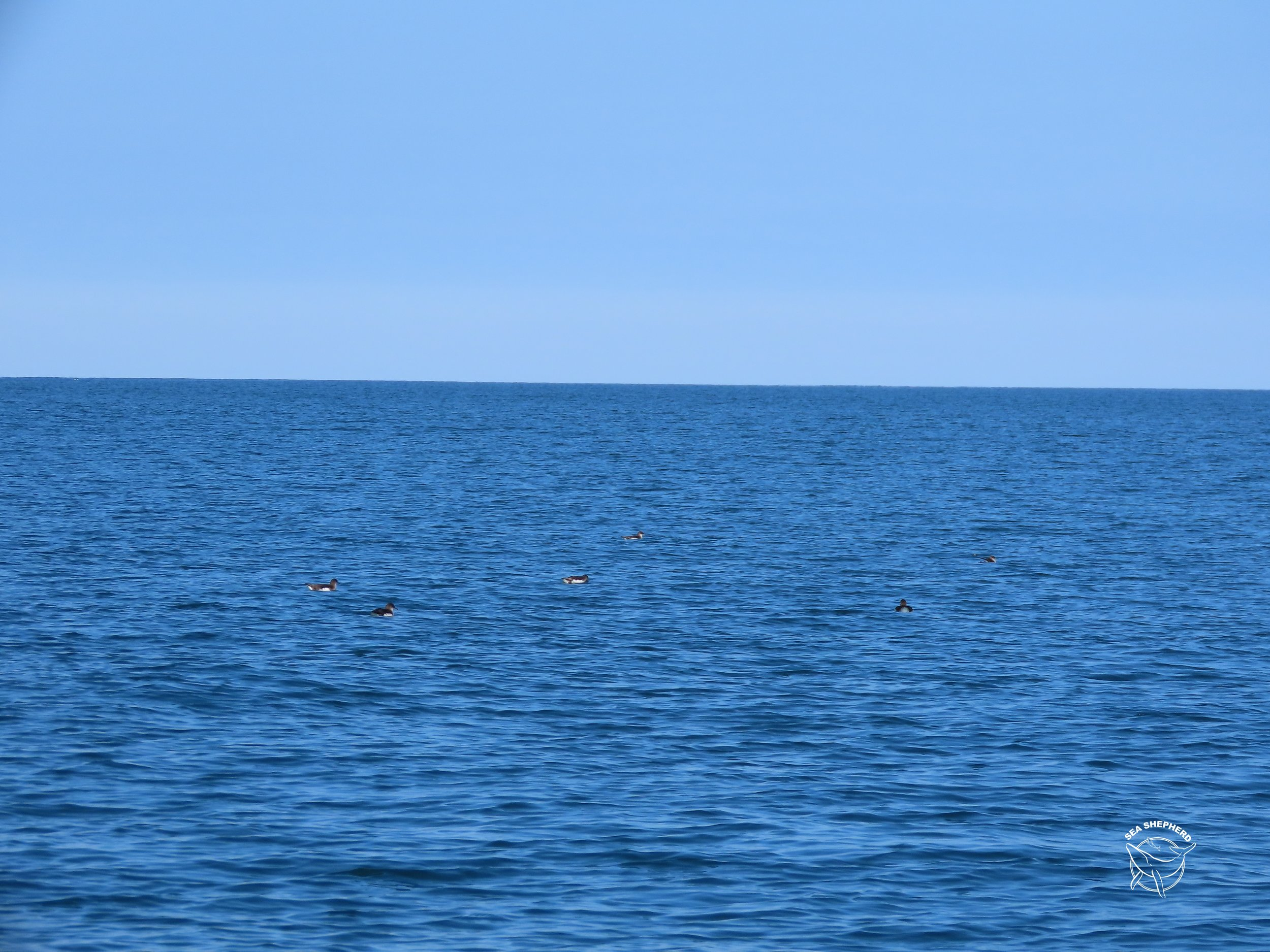 Some Fluttering Shearwaters enjoying quality time without Maui
