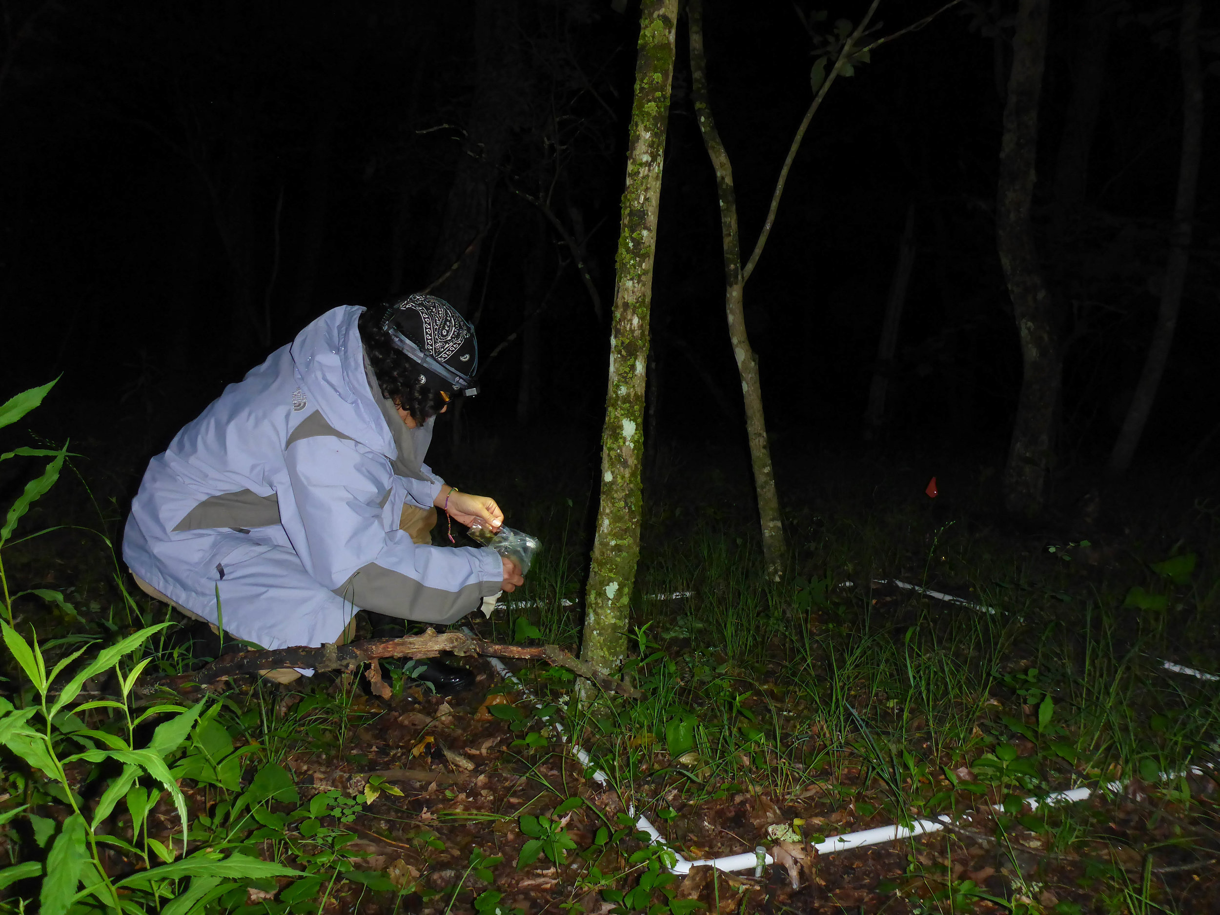 Osmary collecting salamanders for mark-recapture