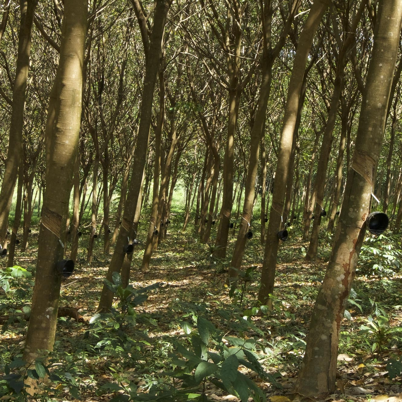 rubber trees ready to be harvested for foam in vancouver