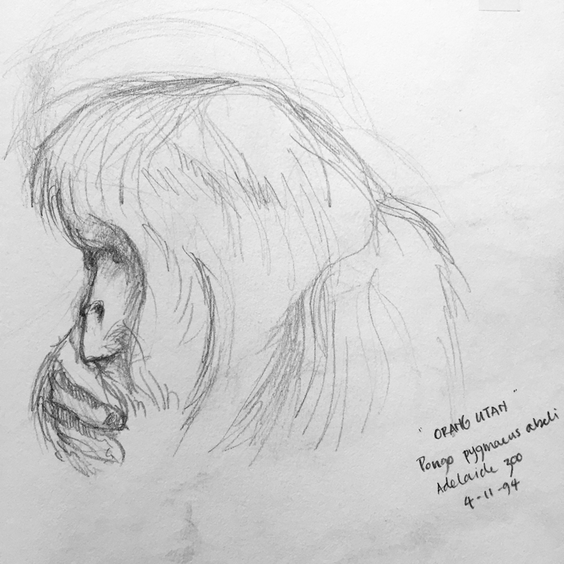 I may never have painted an orangutan - but I found a very old sketch I once did. Will that do?