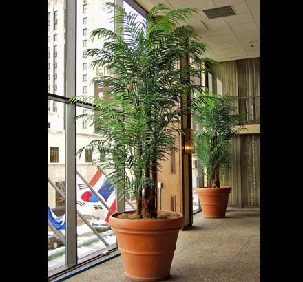 PL432 Areca Palm