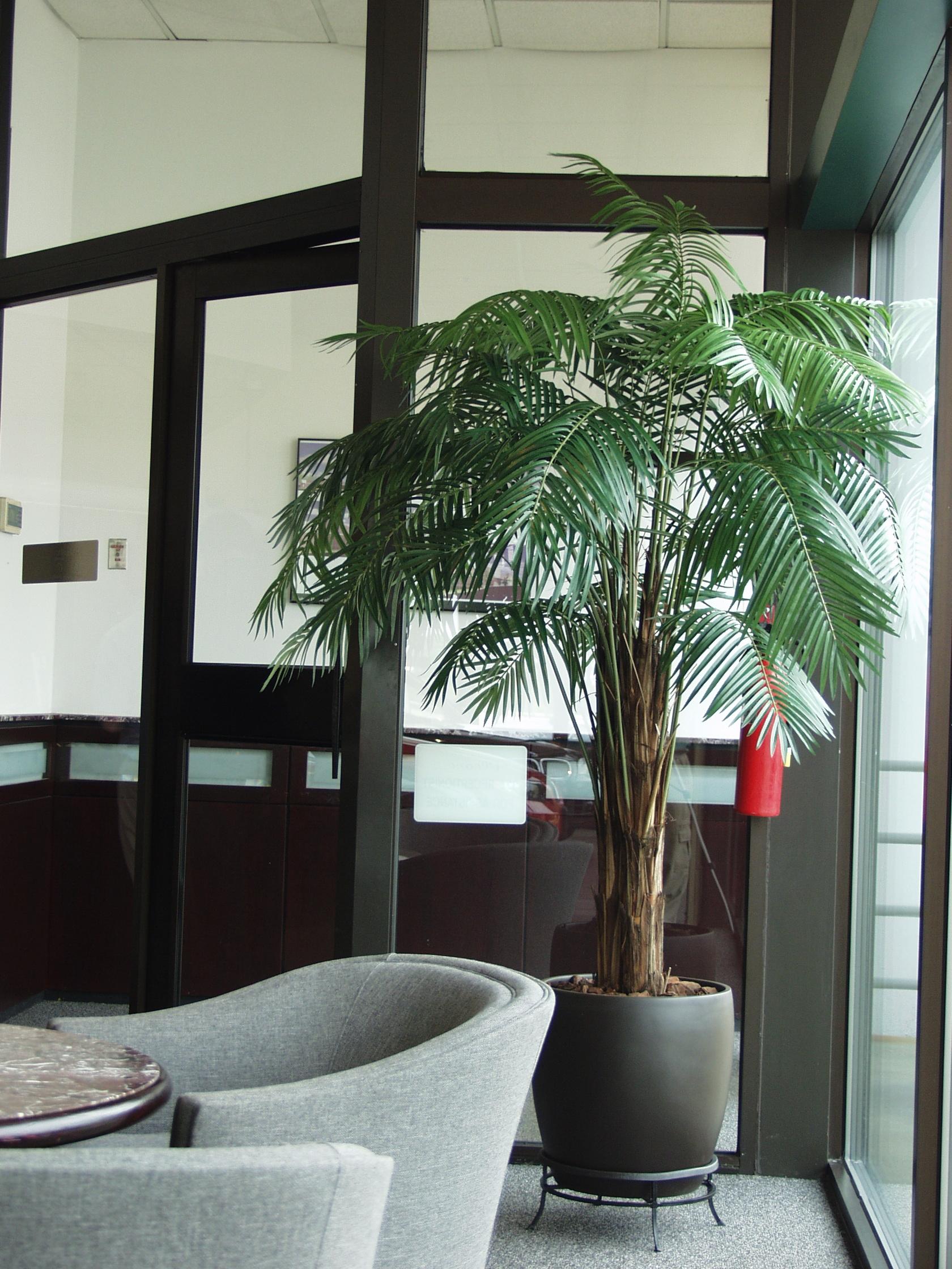 PL124 Areca Palm