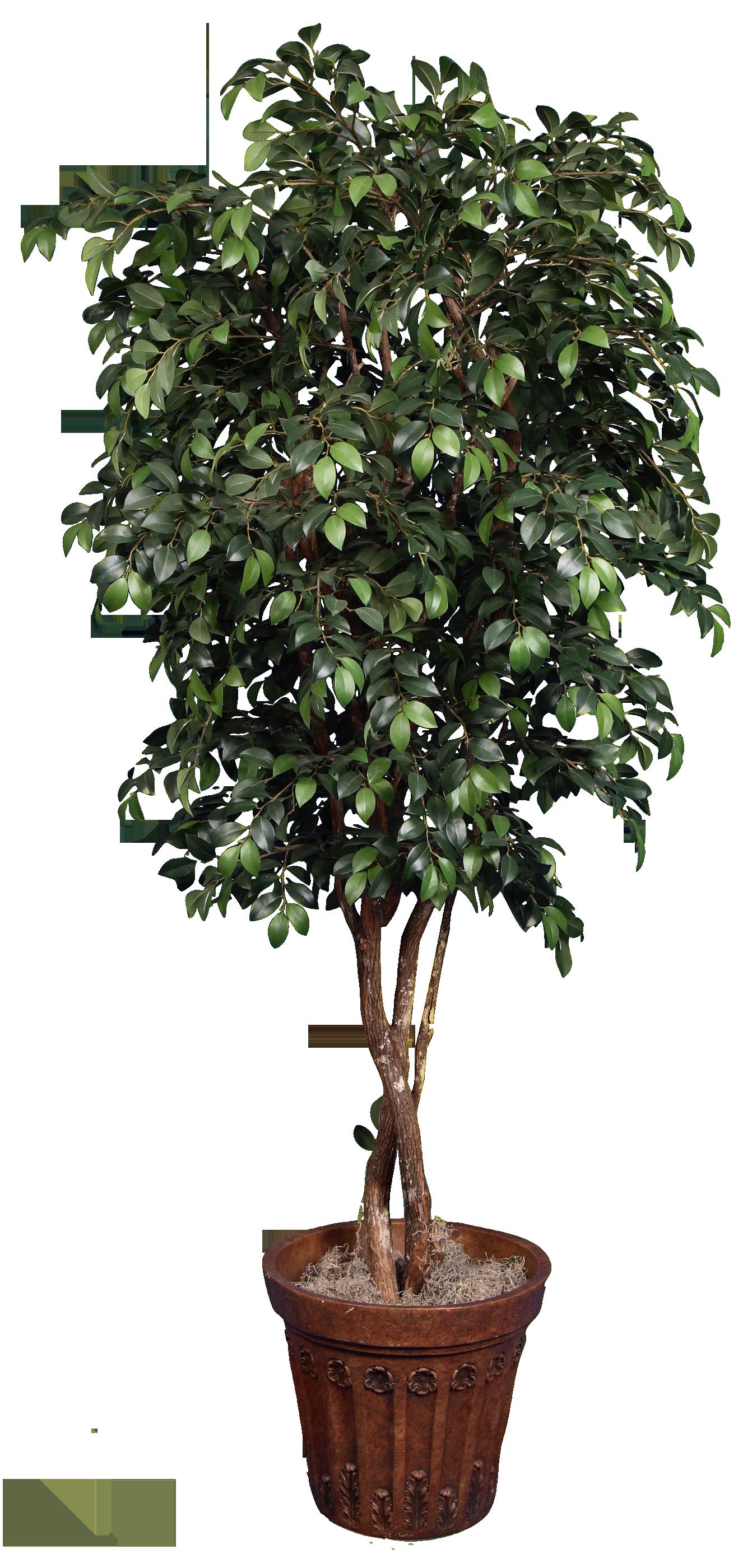 TCM 4608- Sacagi Ficus