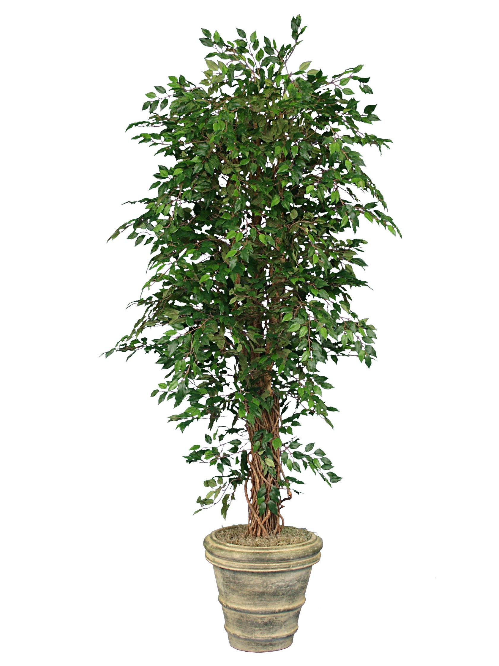 TSP 1114- Roma Ficus