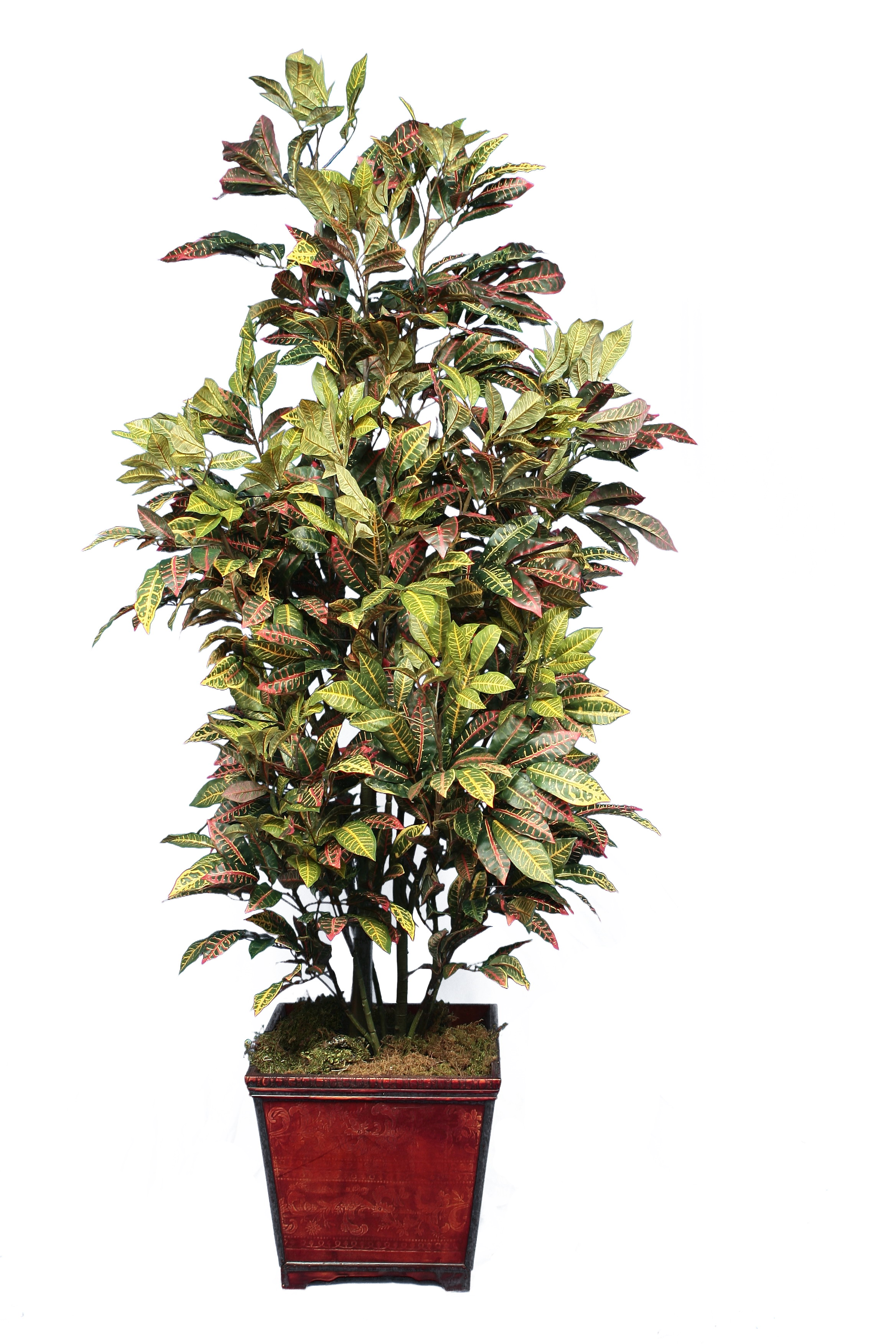 TSP 3571- Croton
