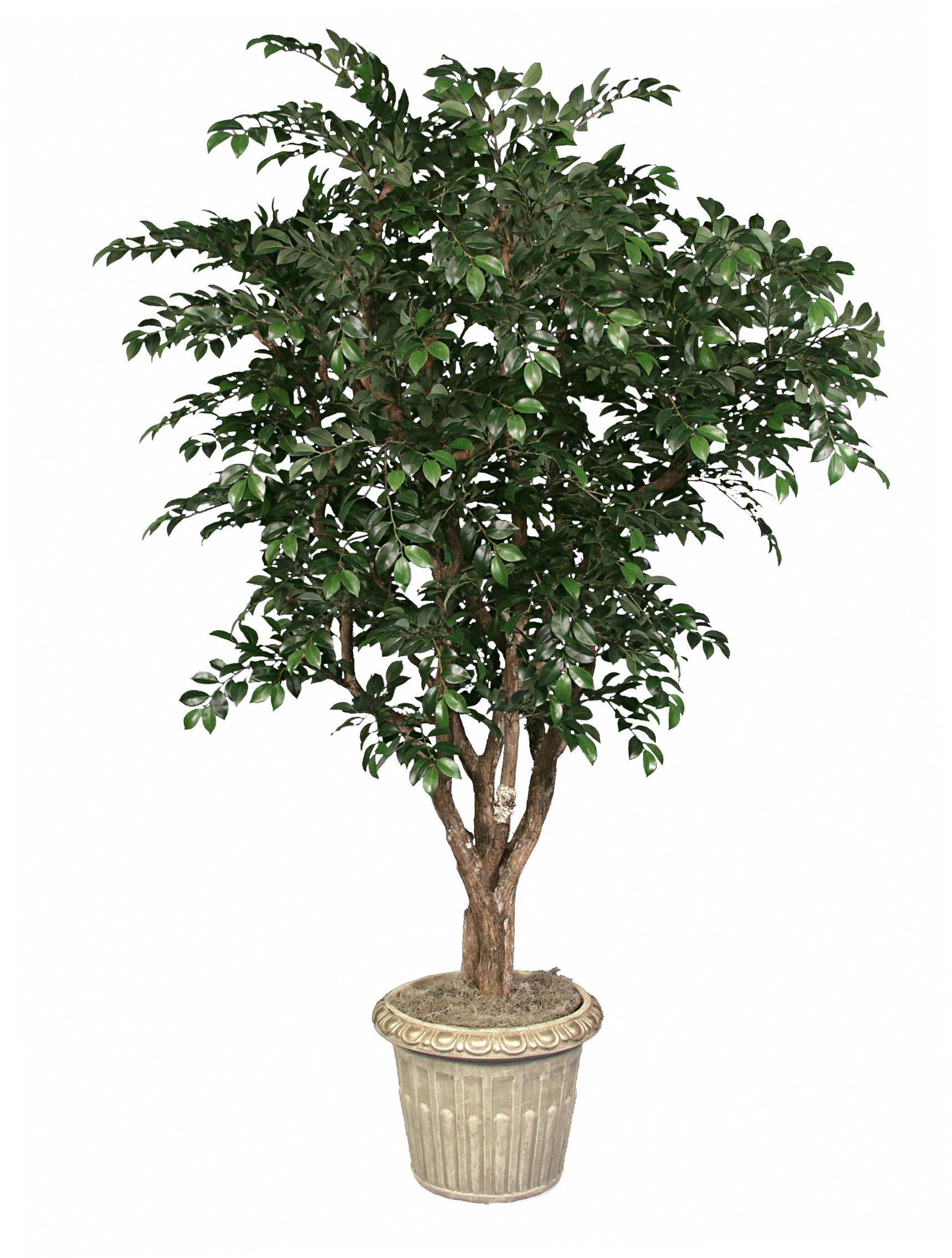 TRG 7929- Ficus