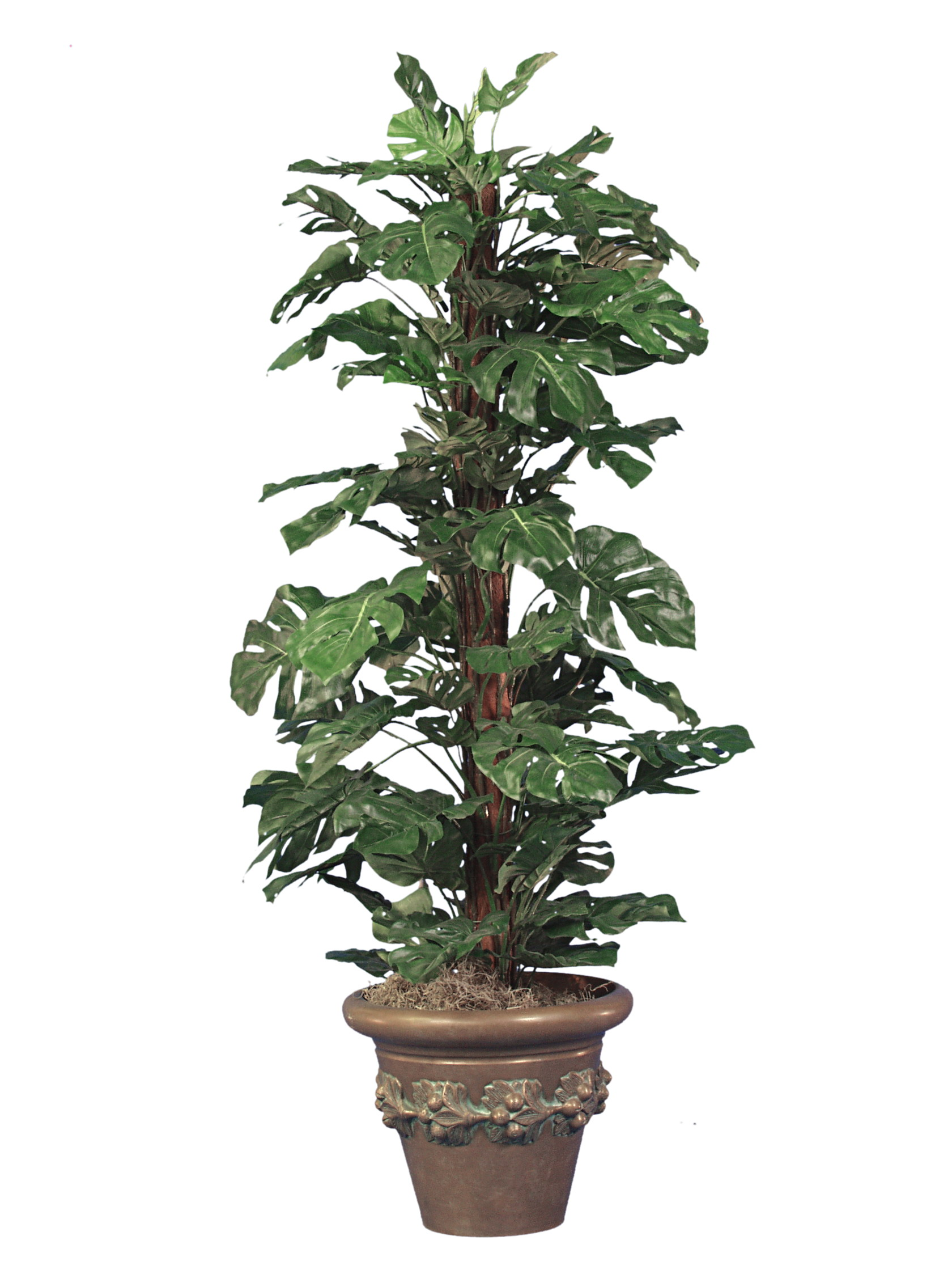 TSP 2200- Monstera plant