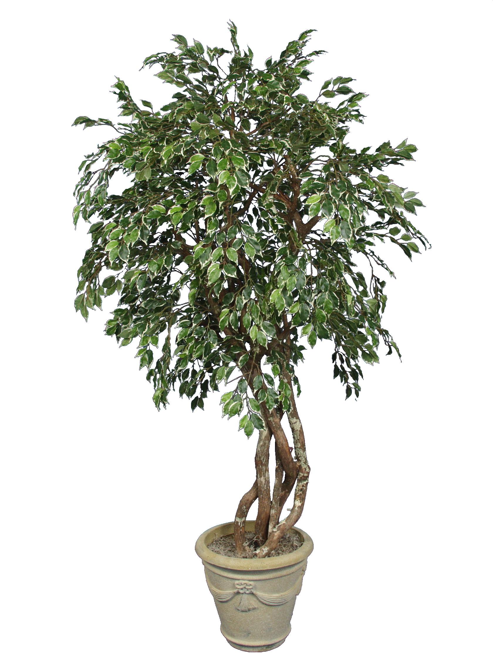 TRG 3939- Variegated Ficus